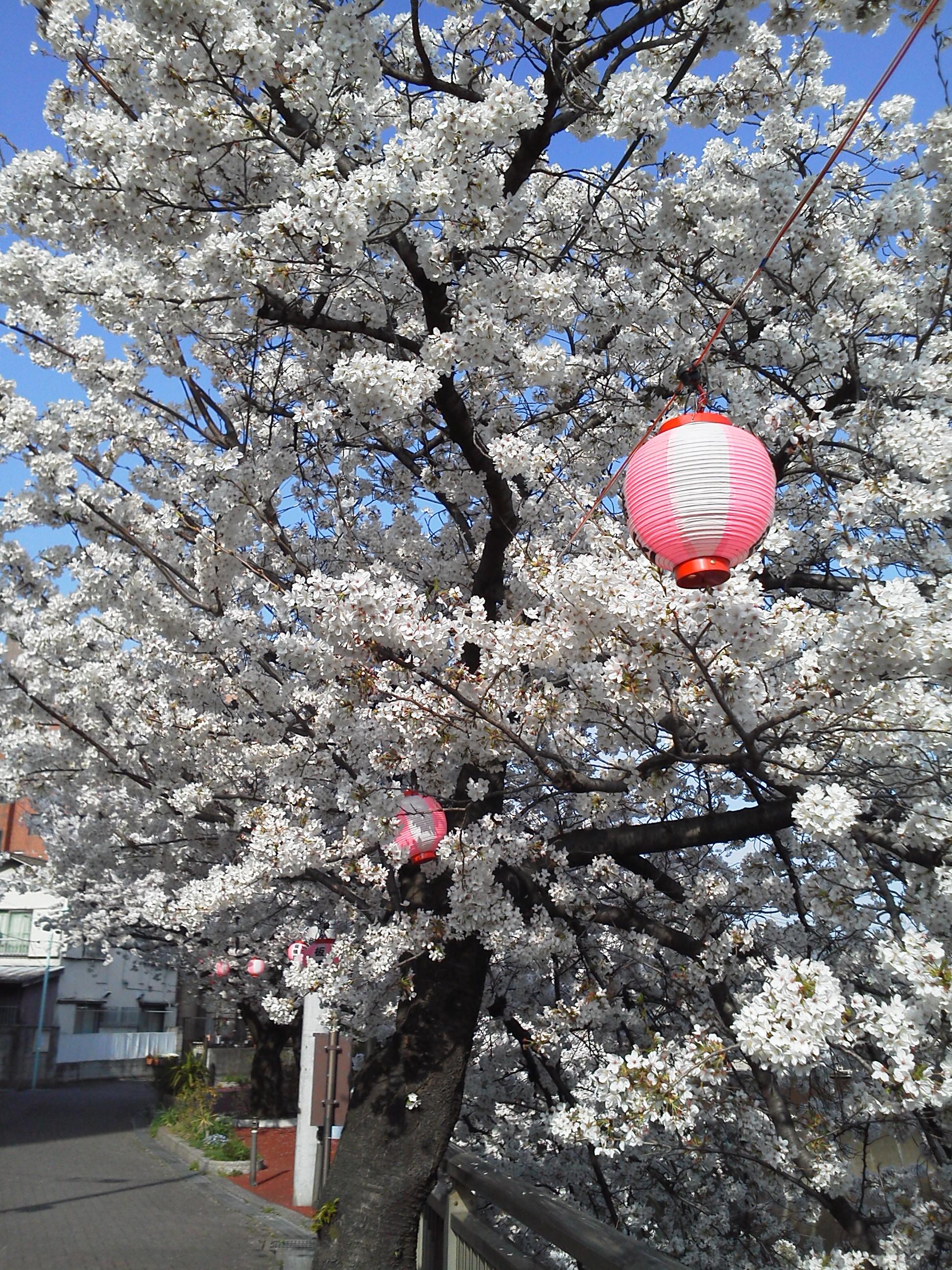 石神井川 桜 板橋区の提灯